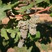 Odrůda Hibenal