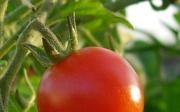 Šedá hniloba rajčete