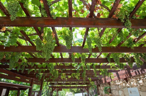 Vinná réva ajejí pěstování napergole