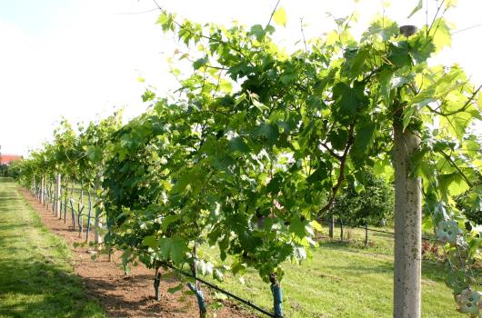 Kalendář pro vinaře - červen