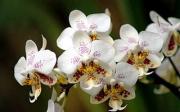 Nejoblíbenější orchidej - Pahaenopsis