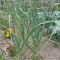 Pěstování česnekupro začátečníky