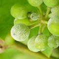 Kalendář pro vinaře - červenec